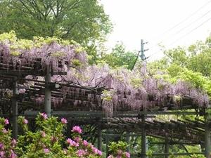 春の阿知の藤