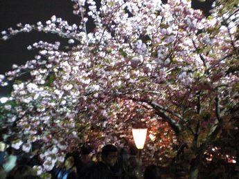 造幣局桜3.JPG