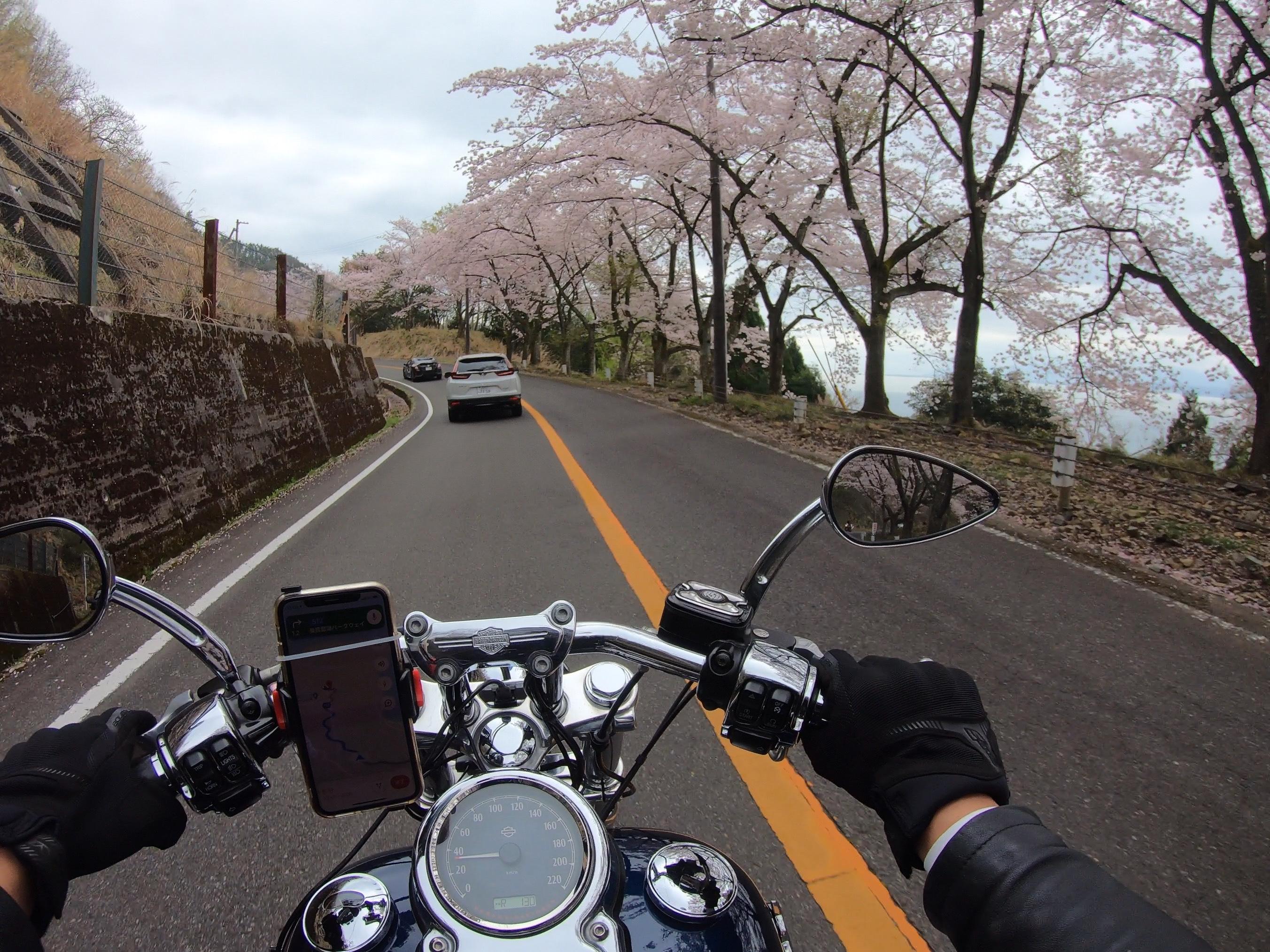 ぴーきち ハーレー 琵琶湖 桜 奥琵琶湖パークウェイ 桜並木 春