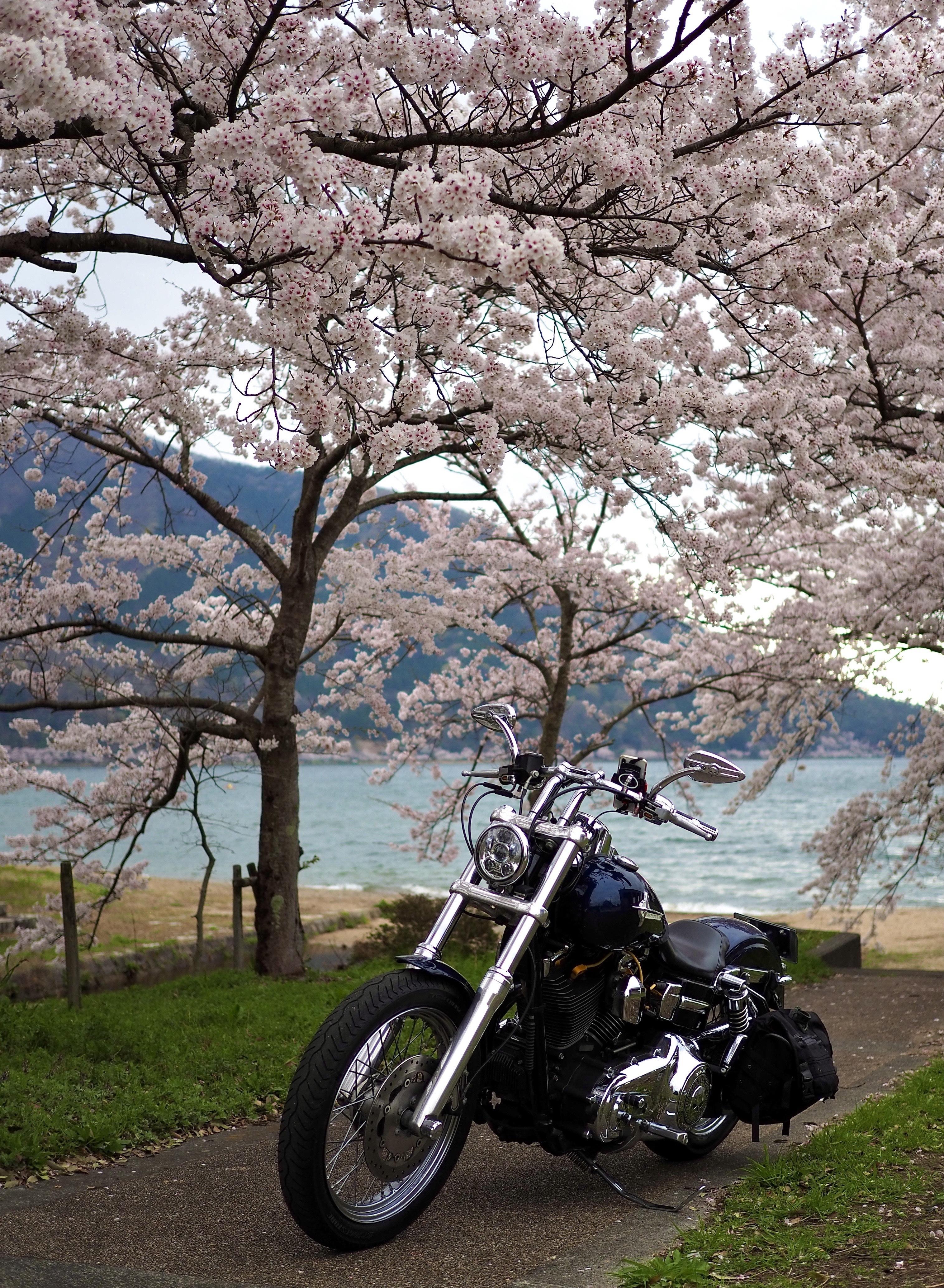 琵琶湖お花見ツーリング マキノサニービーチ 桜 ソメイヨシノ
