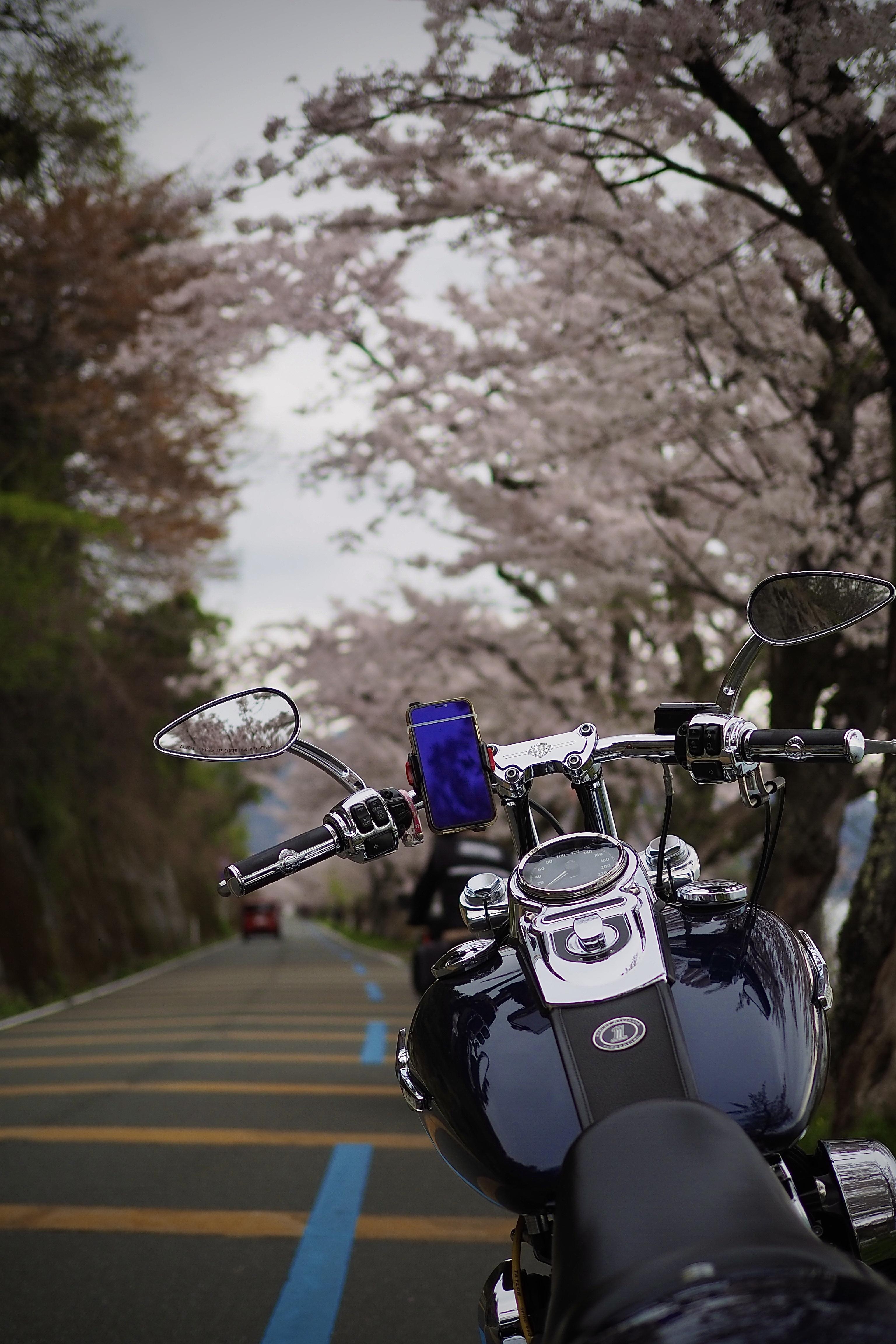 ぴーきち ハーレー 桜 海津大崎 桜並木 バイク ツーリング 春