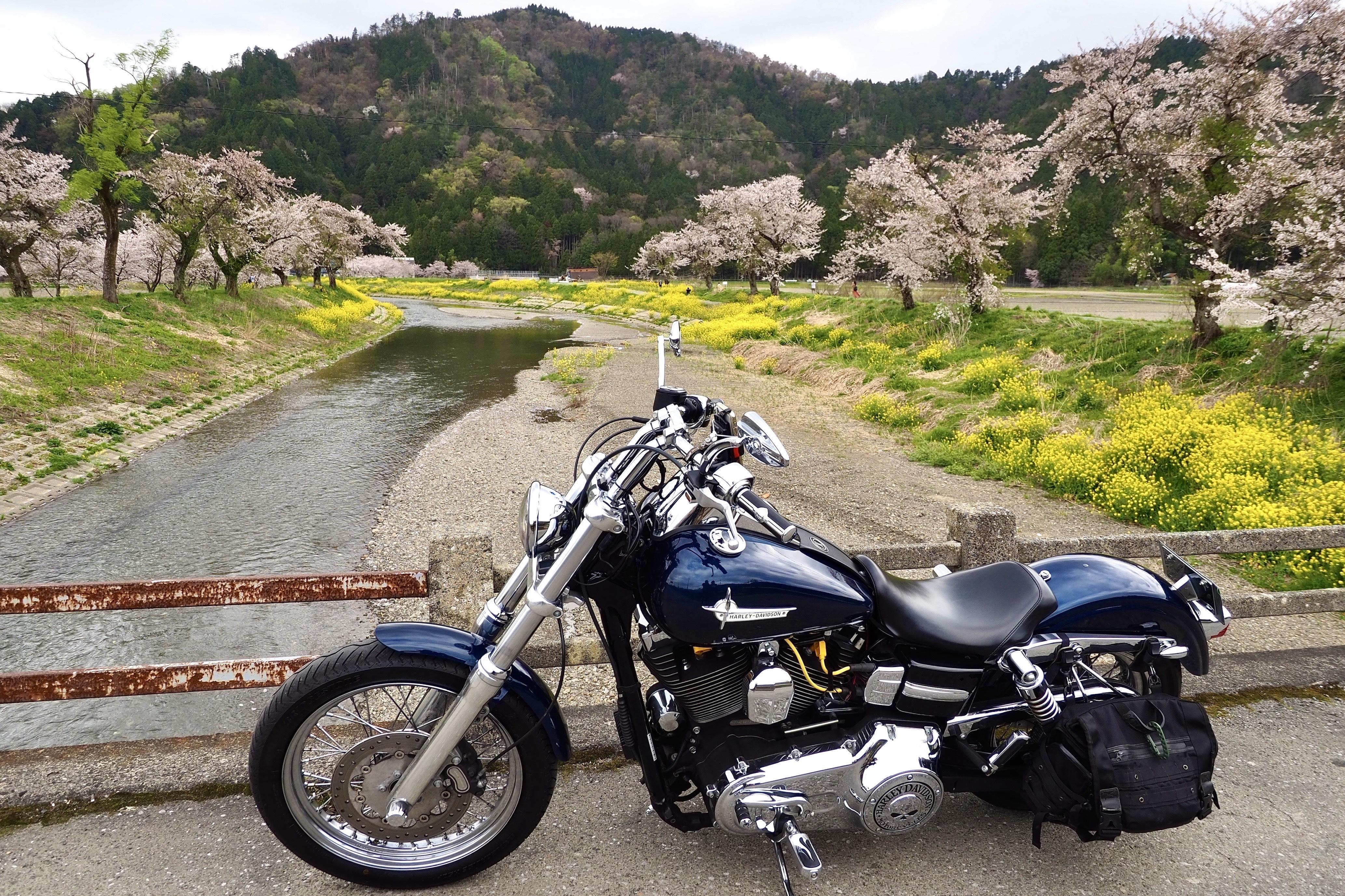 奥琵琶湖 お花見 ツーリング 余呉川 春の景色 菜の花 桜 長浜 ハーレー バイク