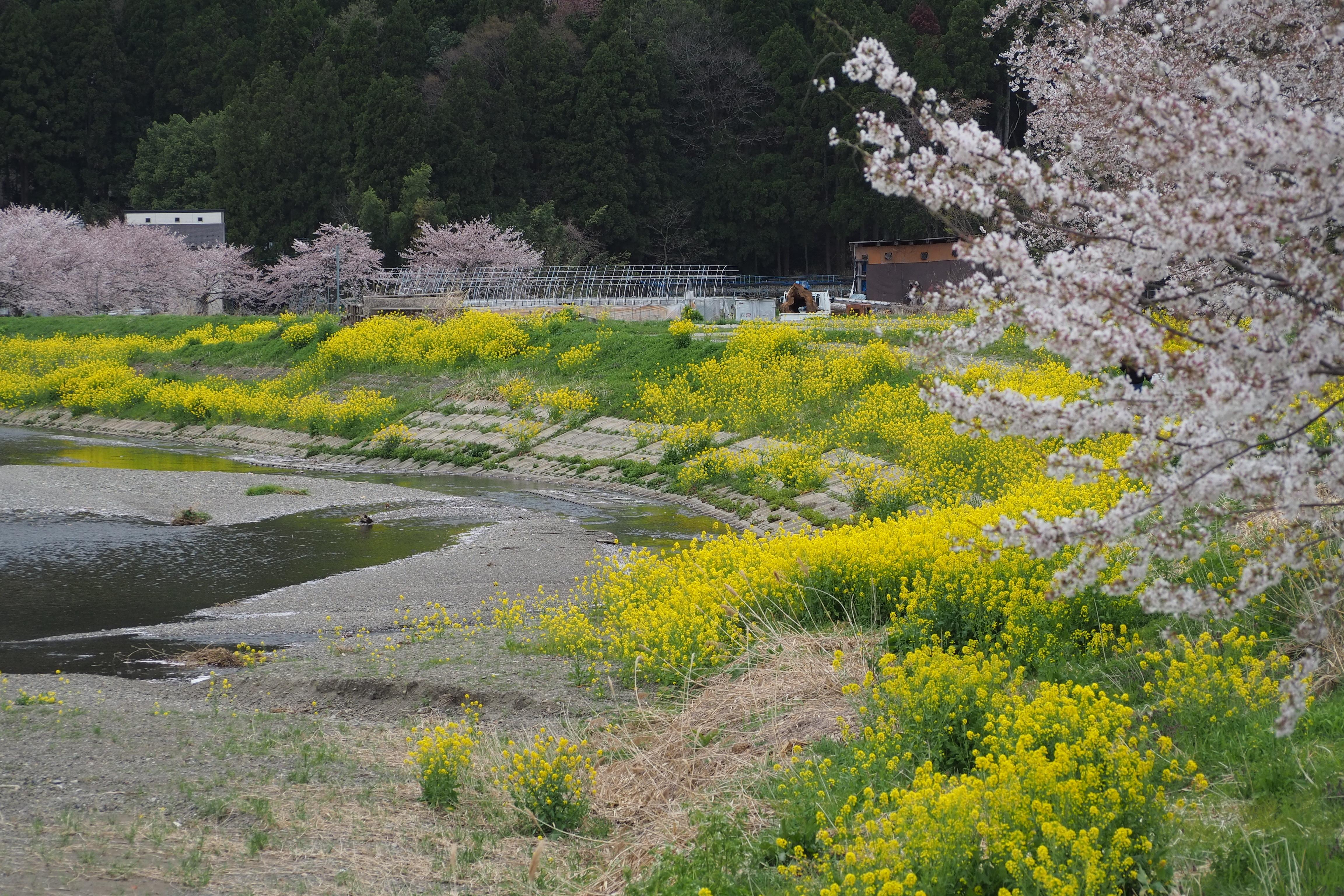 奥琵琶湖 お花見 ツーリング 余呉川 春の景色 菜の花 桜 長浜