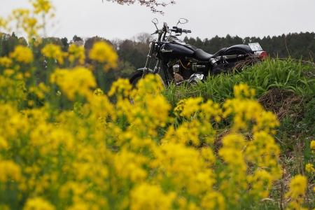 奥琵琶湖 お花見 ツーリング 余呉川 春の景色 菜の花 桜 長浜 ハーレー