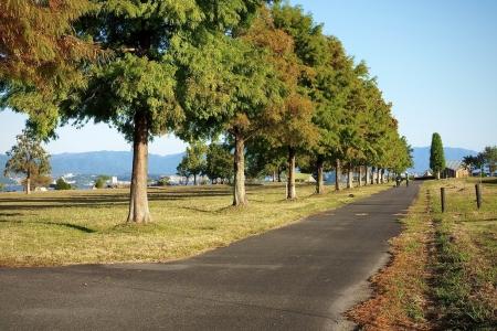 ぴーきちハーレーブログ 滋賀県 草津のメタセコイア並木
