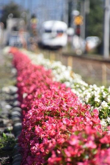 2020年10月11日撮影 アルピコ交通 3000系 花にピントを合わせて