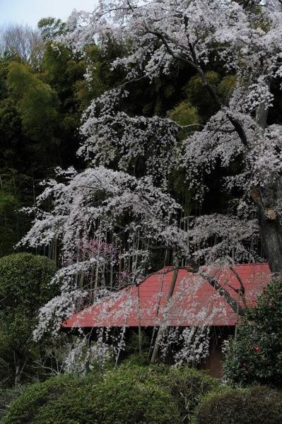 雪村庵 桜咲く