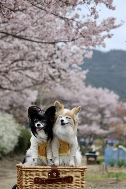 2020年3月桜とユキヤナギ (208) (427x640)