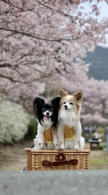 2020年3月桜とユキヤナギ (220) (357x640)
