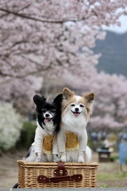 2020年3月桜とユキヤナギ (210) (427x640)