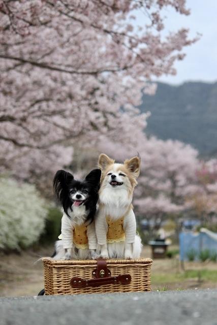 2020年3月桜とユキヤナギ (222) (427x640)