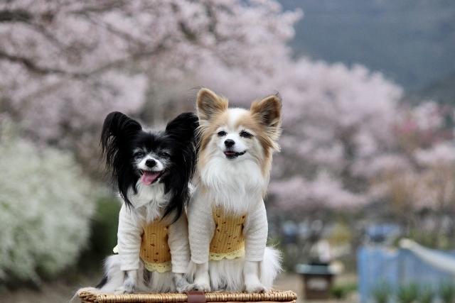 2020年3月桜とユキヤナギ (234) (640x427)