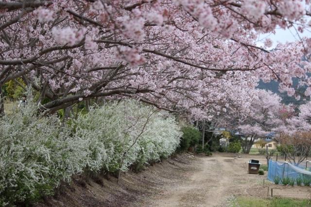 2020年3月桜とユキヤナギ (255) (640x427)
