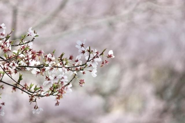2020年3月桜とユキヤナギ (159) (640x427)