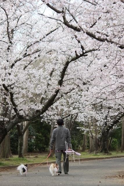2020年3月ソメイヨシノサンテパルク田原 (106) (427x640)