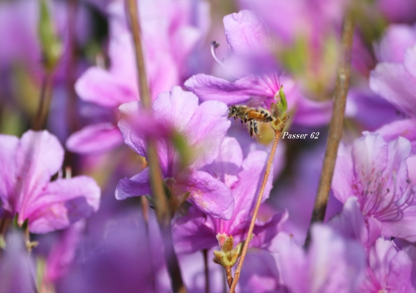 ツツジと蜂