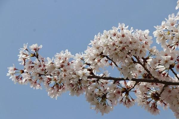 2021.04.10 京都の桜①(嵐山)-2