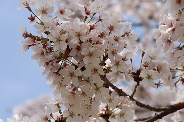 2021.04.10 京都の桜①(嵐山)-3