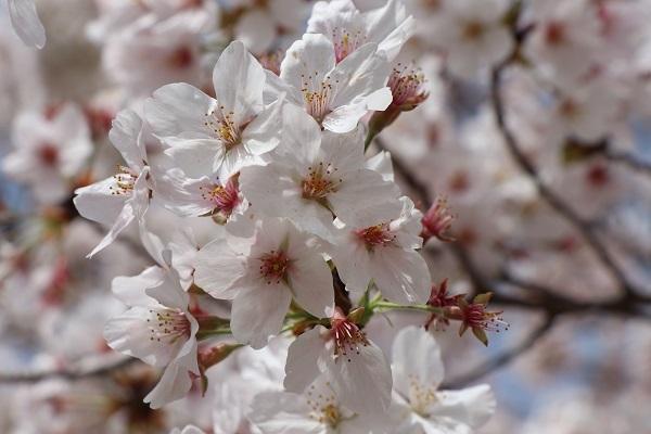 2021.04.10 京都の桜①(嵐山)-4
