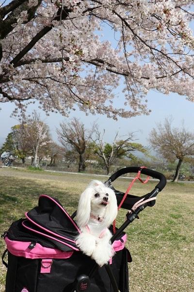 2021.04.10 京都の桜①(嵐山)-5