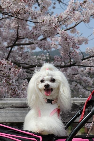2021.04.10 京都の桜①(嵐山)-6