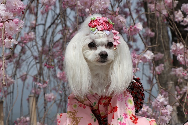 2021.04.10 京都の桜①(嵐山)-9