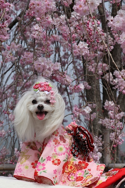 2021.04.10 京都の桜①(嵐山)-10