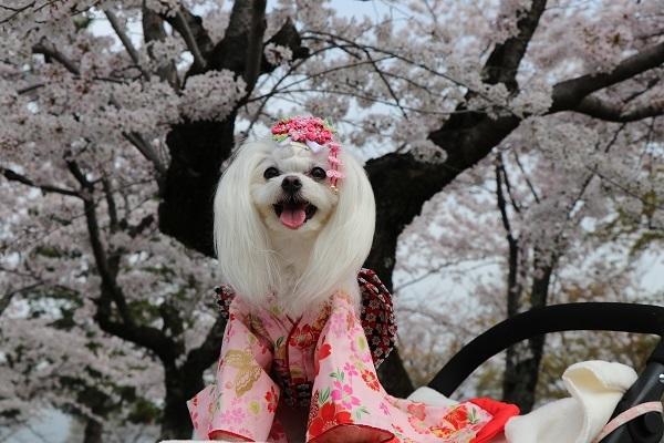 2021.04.10 京都の桜①(嵐山)-11