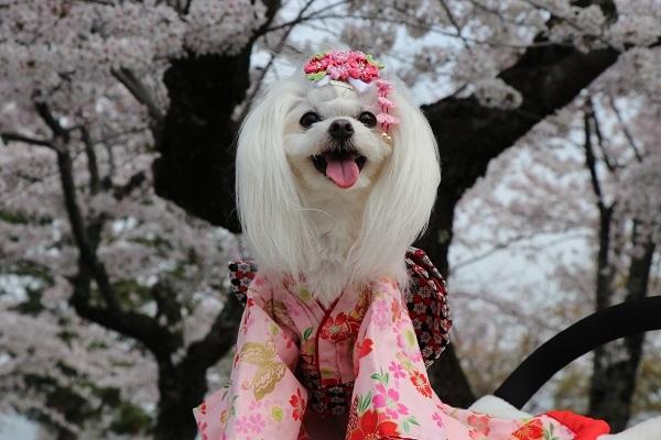 2021.04.10 京都の桜①(嵐山)-12