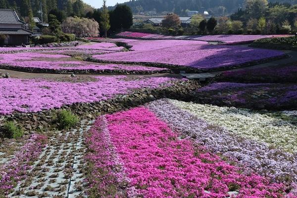2021.05.10 花のじゅうたん①-6