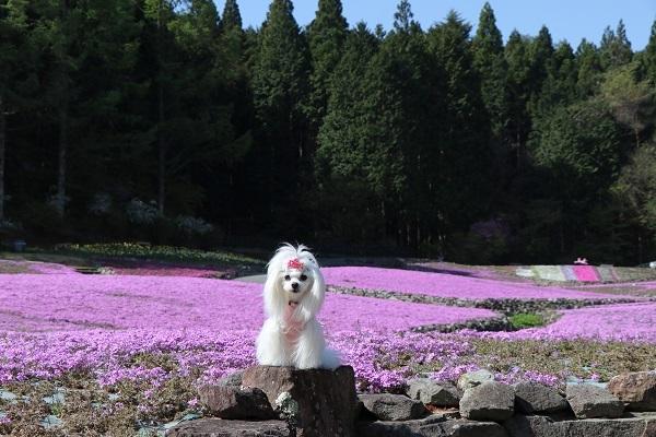 2021.05.11 花のじゅうたん②-1