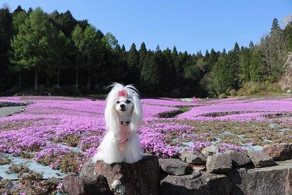 2021.05.11 花のじゅうたん②-2