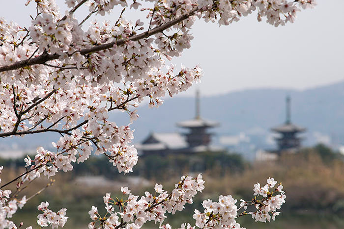 薬師寺三重塔とサクラ2