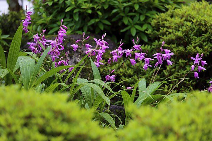 シラン(紫蘭)1