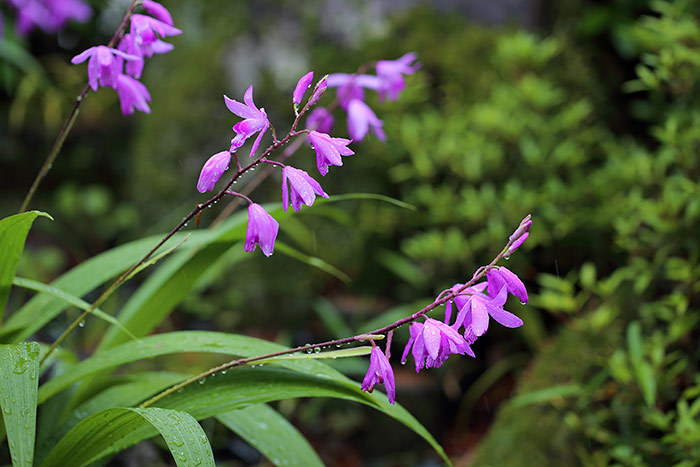 シラン(紫蘭)2