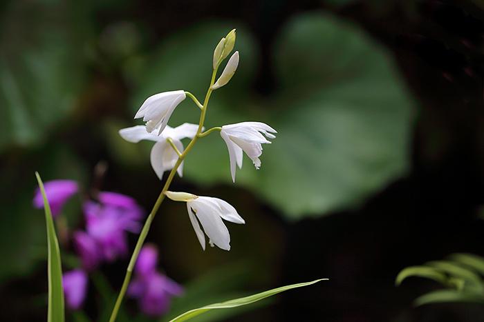 シラン(紫蘭)4