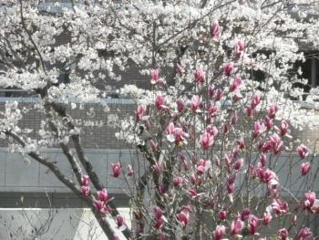 最寄り駅の桜