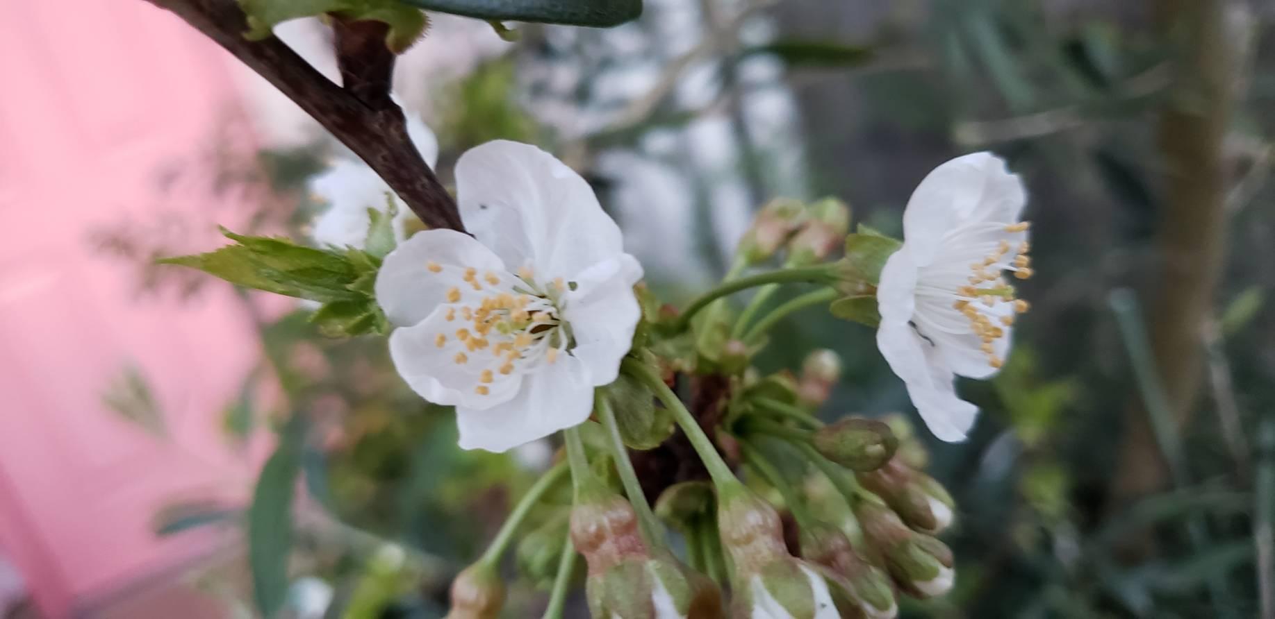 ミーママ家の鉢植え桜