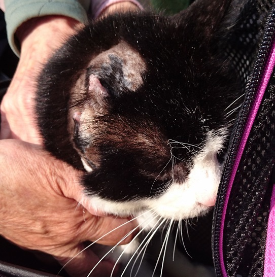 ハチワレ①奇跡的に回復し、退院したハチワレ猫ちゃん(=^ェ^=)切断した右耳が痛々しい😢ボランティアYさんが家族に迎え入れてくださいました✨✨ずっと幸せに暮らしてね✨❤️✨