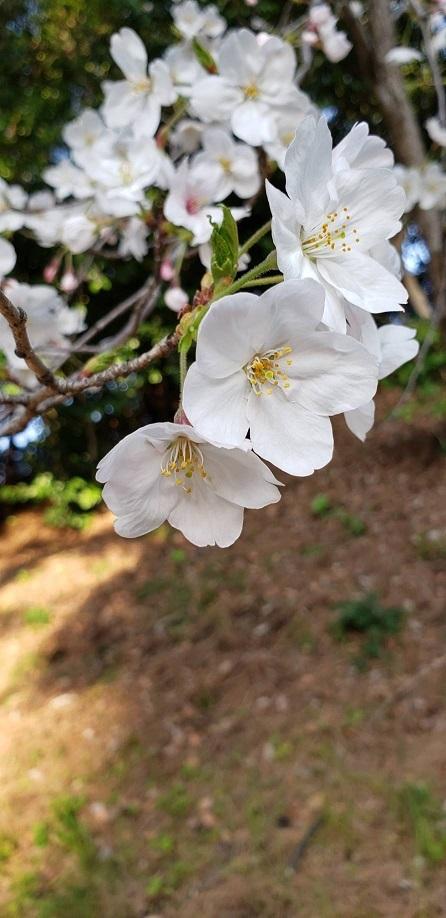 お堀の桜③