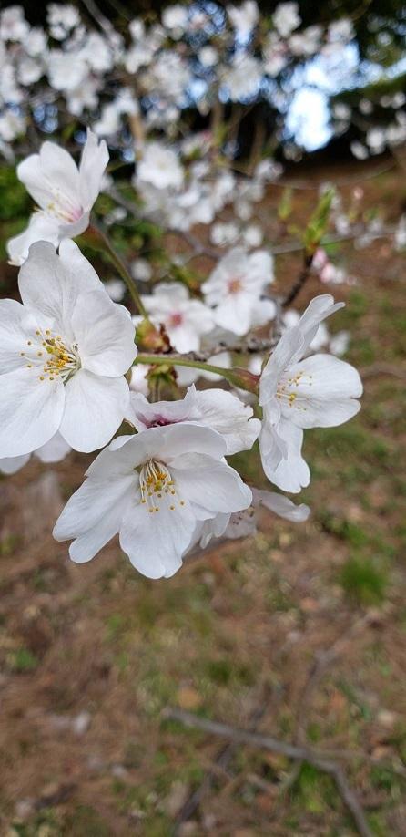 お堀の桜⑥