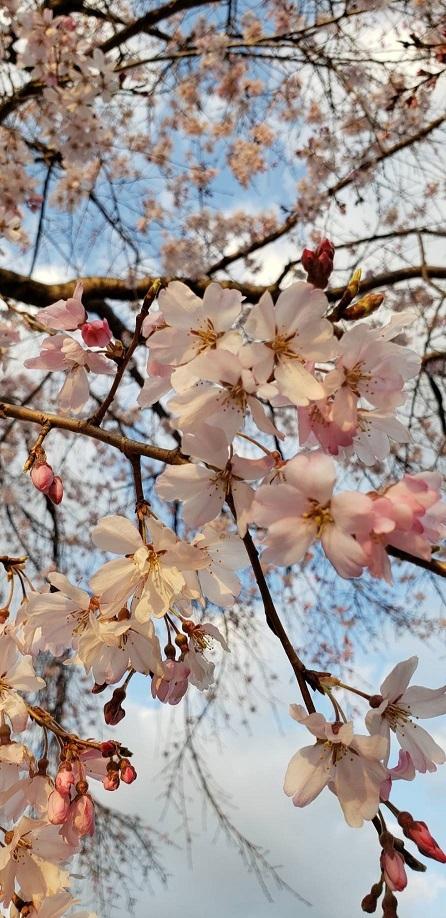 お堀の桜⑬