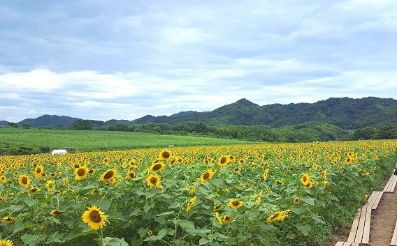 ひまわり畑(愛をまといたいさん撮影)2