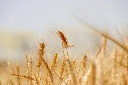 wheat-3120580_1280a_convert_20210821161008.jpg