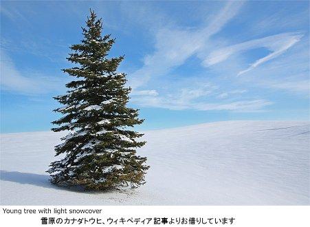 雪原のカナダトウヒ