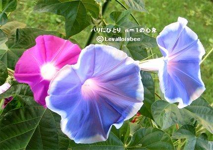 赤と青のアサガオお花が咲いたREVdownsize