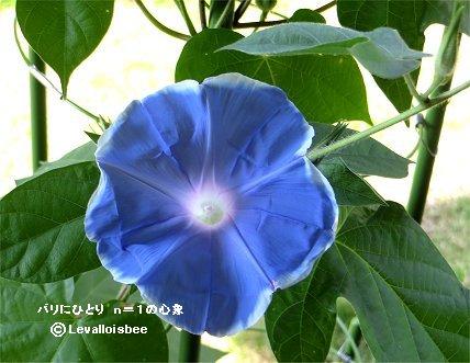 大きめの青いアサガオの花REVdownsize