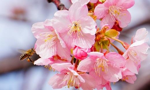 河津桜2 (2)