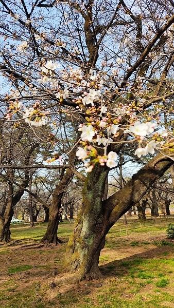 大宮公園の桜20210317
