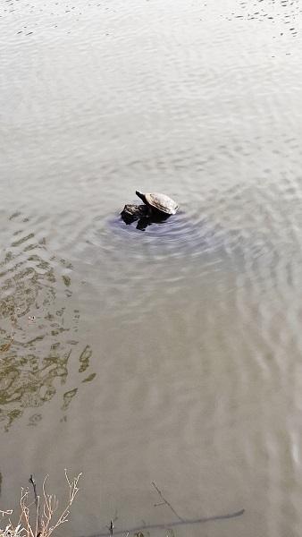 ボート池の亀20210317